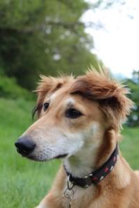 Tetley ears